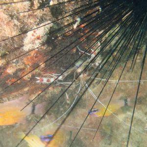 Crustacés » Crevettes » Stenopus hispidus