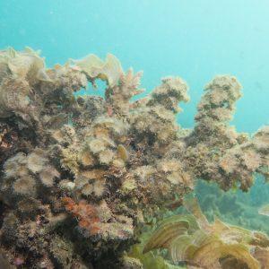 Algues » Algue brune » Turbinaria ornata