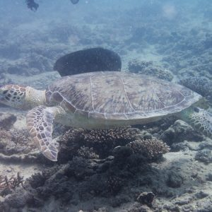 Tortue marine » Chelonia mydas (tortue verte)