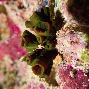 Cnidaires - Nouvelle-Calédonie, Nouméa, Côte Blanche