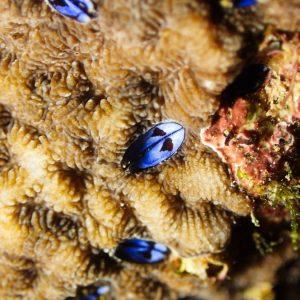 Pyrgomatidae sp.