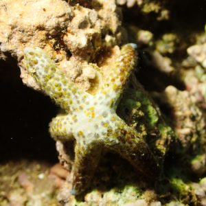 Étoile de mer - Nouvelle-Calédonie, Nouméa, Côte Blanche