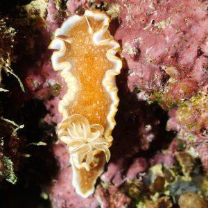 Mollusques » Gastéropode » Limaces de mer (opisthobranche) » Nudibranche » Doridien » Glossodoris rufomarginata