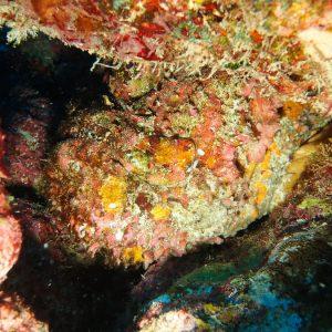 Synanceia verrucosa - Nouvelle-Calédonie, Nouméa, Le sournois
