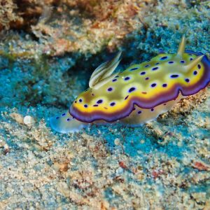Mollusques » Gastéropode » Limaces de mer (opisthobranche) » Nudibranche » Doridien » Goniobranchus kuniei