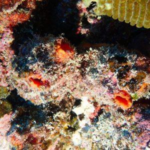 Tuniciers » Ascidie » Polycarpa aurita