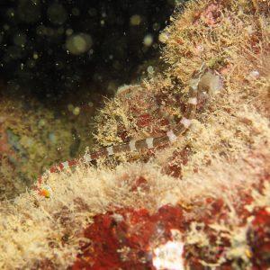 Poissons » Poisson-pipe » Corythoichthys amplexus