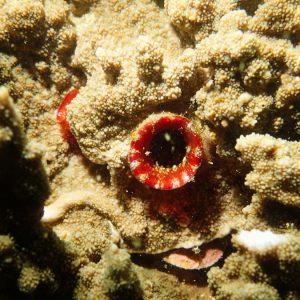 Tuniciers » Ascidie » Microcosmus sp.