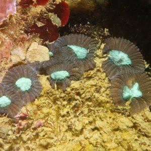 Cnidaires - Nouvelle-Calédonie, Nouméa, Ouémo