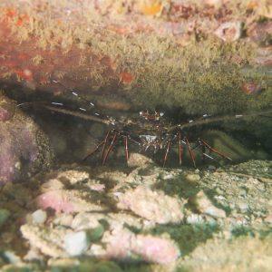 Crustacés » Langouste