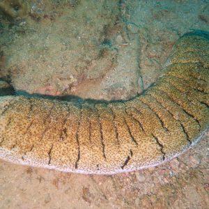 Holothuria (Microthele) fuscopunctata - Nouvelle-Calédonie, Nouméa, Ouémo