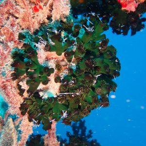 Cnidaires - Nouvelle-Calédonie, Passe de Boulari, Toho V