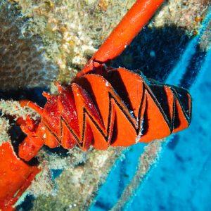 Mollusques » Bivalve » Lopha cristagalli