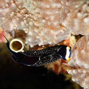 Mollusques » Gastéropodes » Nudibranches » Chelidonura inornata