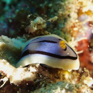 Mollusques » Gastéropodes » Nudibranches » Chromodoris elisabethina