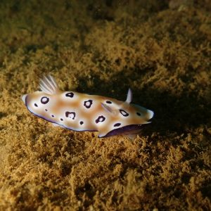 Mollusques » Gastéropodes » Nudibranches » Chromodoris leopardus
