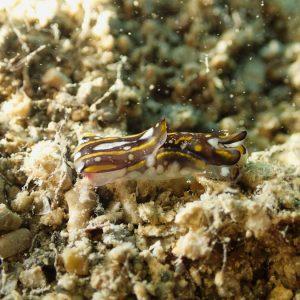 Mollusques » Gastéropode » Limaces de mer (opisthobranche) » Céphalaspide » Philinopsis cyanea
