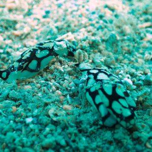 Mollusques » Gastéropode » Limaces de mer (opisthobranche) » Céphalaspide » Philinopsis reticulata