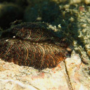Organismes vermiformes » Ver plat (plathelminthe) » Pseudobiceros bedfordi
