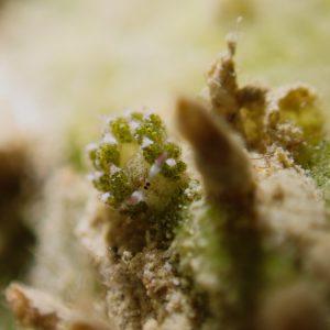 Mollusques » Gastéropode » Limaces de mer (opisthobranche) » Sacoglosse » Costasiella sp2