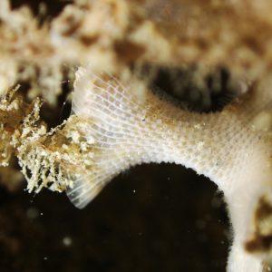 Ectoprocte (bryozoaire)