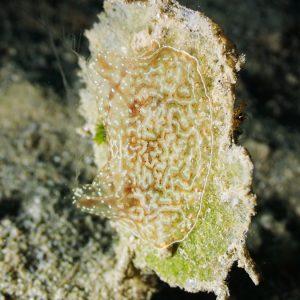 Cténaire (cténophore) » Coeloplana (Benthoplana) meteoris