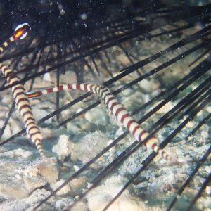 Poissons osseux » Poisson-pipe » Dunckerocampus chapmani