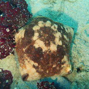 Échinodermes » Étoile de mer » Culcita novaeguineae