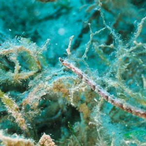 Poissons osseux » Poisson-pipe » Halicampus dunckeri