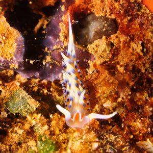 Mollusques » Gastéropodes » Nudibranches » Phidiana indica