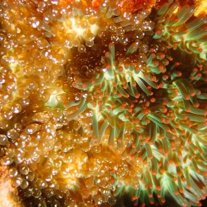 Anémone de mer (actiniaire) - Nouvelle-Calédonie, Aiguille de Prony