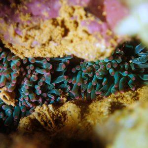 Anémones de mer - Nouvelle-Calédonie, Aiguille de Prony