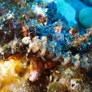 Mollusques » Gastéropode » Limaces de mer (opisthobranche) » Nudibranche » Éolidien » Pteraeolidia ianthina