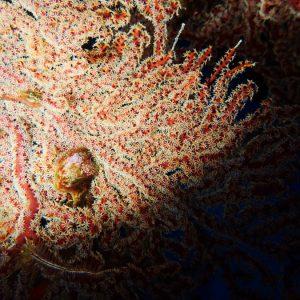 Cnidaires - Nouvelle-Calédonie, La Foa, La Corne d'Isié