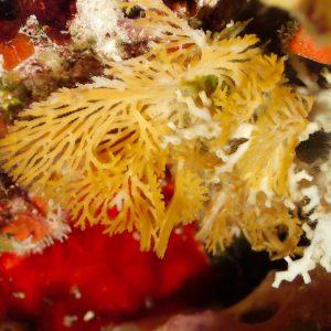 Ectoprocte (bryozoaire) » Reteporellina sp.