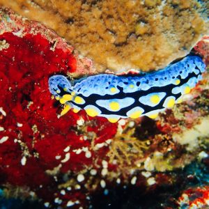 Mollusques » Gastéropode » Limaces de mer (opisthobranche) » Nudibranche » Doridien » Phyllidia picta