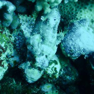 Poissons osseux » Rascasse » Scorpaenopsis possi