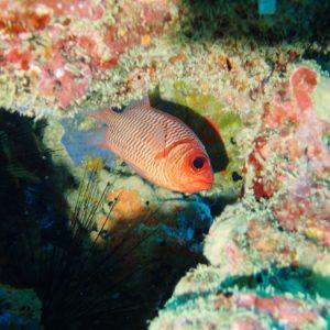 Poisson-soldat - Nouvelle-Calédonie, Nouméa, Sèche croissant