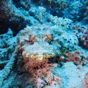 Poissons osseux » Poisson-crocodile