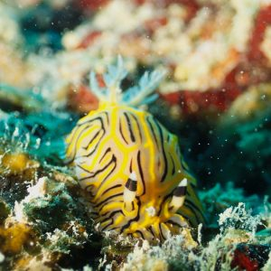 Mollusques » Gastéropodes » Nudibranches » Halgerda johnsonorum