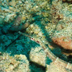Poissons » Poisson-pipe » Corythoichthys sp. 2
