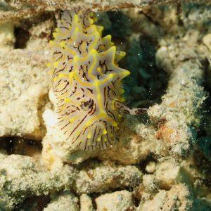 Mollusques » Gastéropode » Limaces de mer (opisthobranche) » Nudibranche » Doridien » Halgerda willeyi