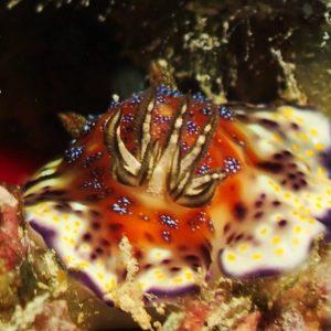 Mollusques » Gastéropode » Limaces de mer (opisthobranche) » Nudibranche » Doridien » Chromodoris collingwoodi
