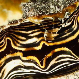 Mollusques » Bivalve » Athrina vexillum