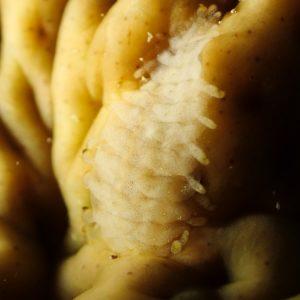 Organismes vermiformes » Annélide » Polychète errant » Gastrolepidia clavigera