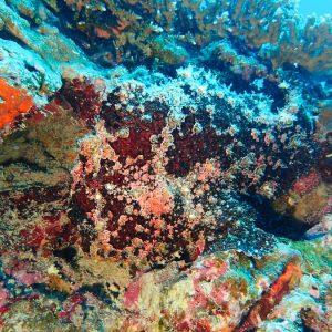 Poisson-grenouille - Nouvelle-Calédonie, Nouméa, Tépava