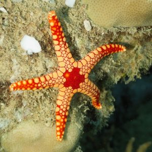 Échinodermes » Étoile de mer » Fromia monilis