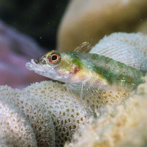 Poisson à trois nageoires - Nouvelle-Calédonie, Nouméa, Baie des Citrons