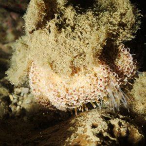 Échinodermes » Oursin » Toxopneustes pileolus