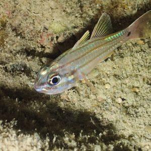 Poisson-cardinal - Nouvelle-Calédonie, Nouméa, Rocher à la voile
